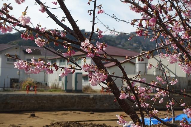 ピークを過ぎた河津正月桜