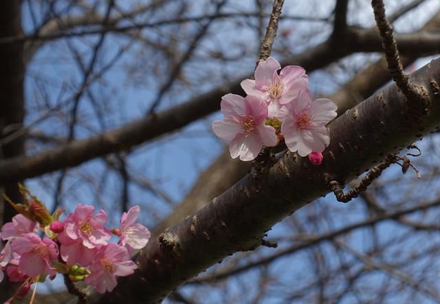 河津桜一分咲き